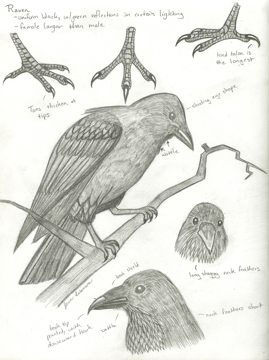 ravenStudy1_small